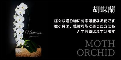 胡蝶蘭|様々な贈り物に対応可能なお花です。数ヶ月は、鑑賞可能で貰った方にもとても喜ばれています。